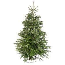 5ft Needlefresh Nordman Fir Real Christmas Tree (150-180cm)
