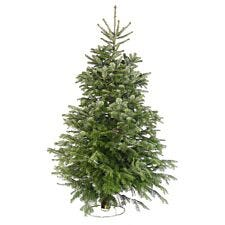 8ft Needlefresh Nordman Fir Real Christmas Tree (240-270cm)