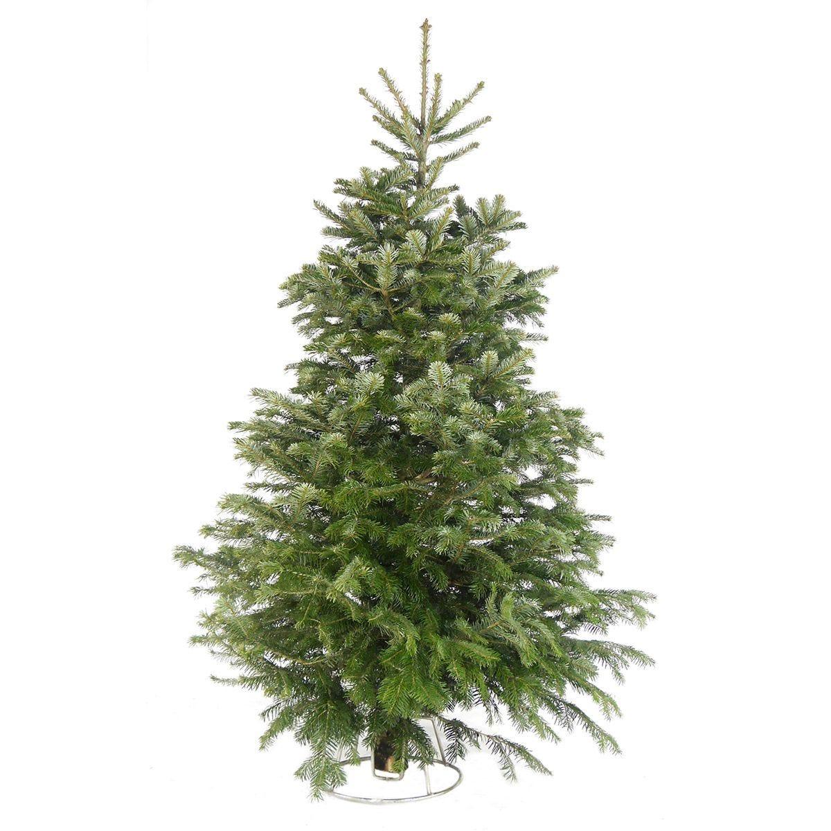 6ft Needlefresh Nordman Fir Real Christmas Tree (180-210cm)