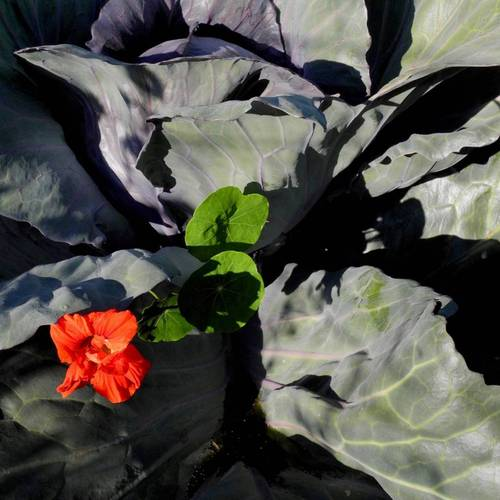 Cabbage and Nasturtium