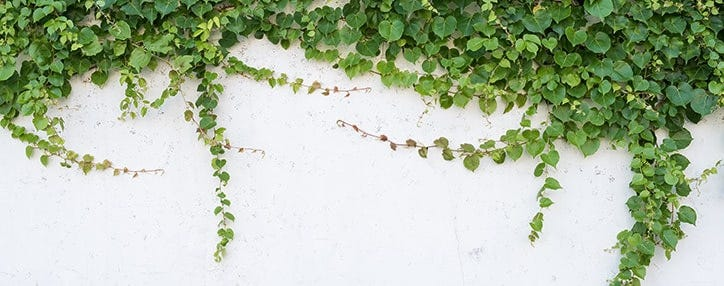 ivy climbing plants that encourage wildlife