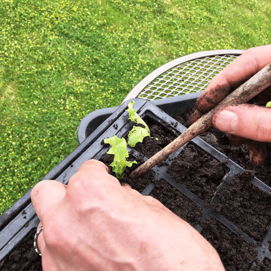 pricking out how to sow indoors